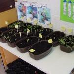 jardinage-en-1re-primaire